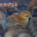 ブランド地鶏の在り方